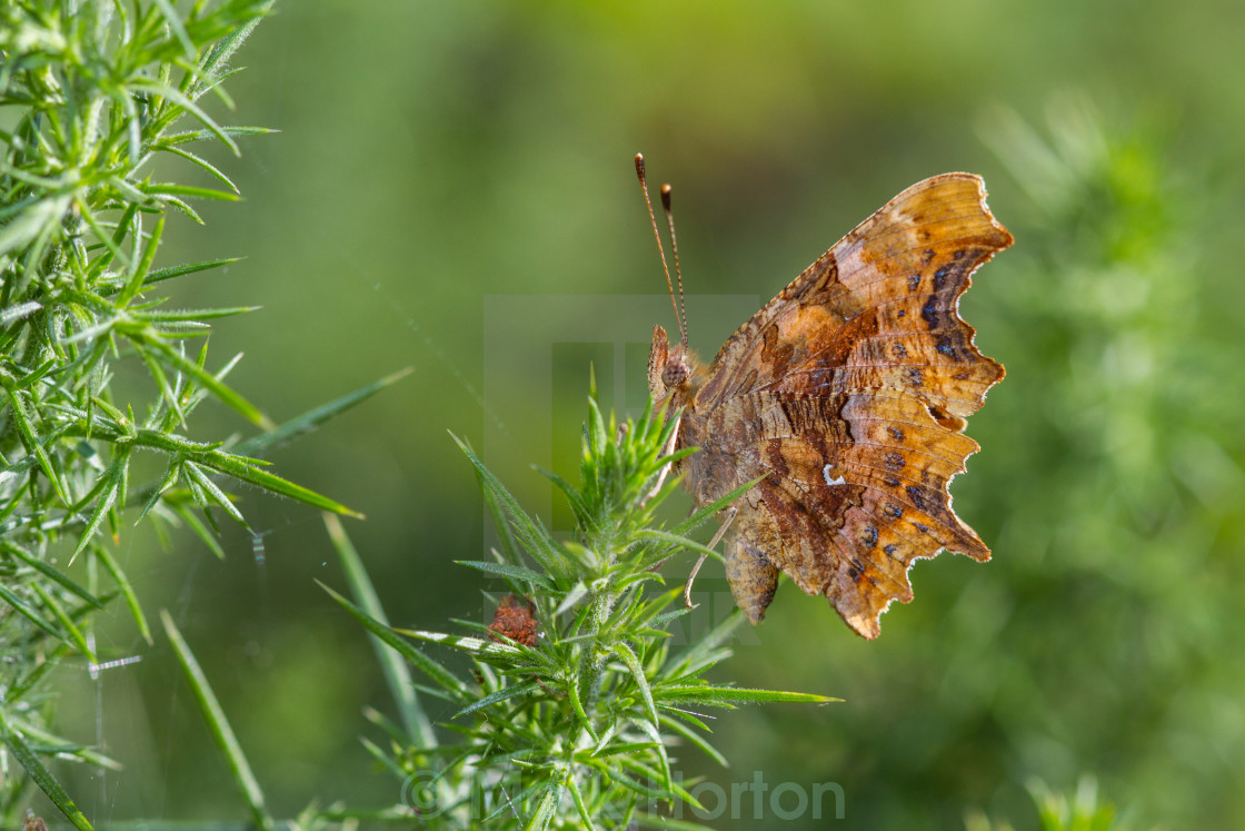 """Comma (Polygonia c-album)"" stock image"