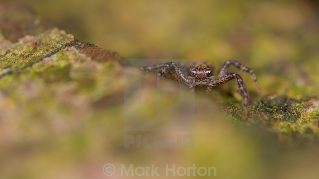 """Tiny crab spider"" stock image"