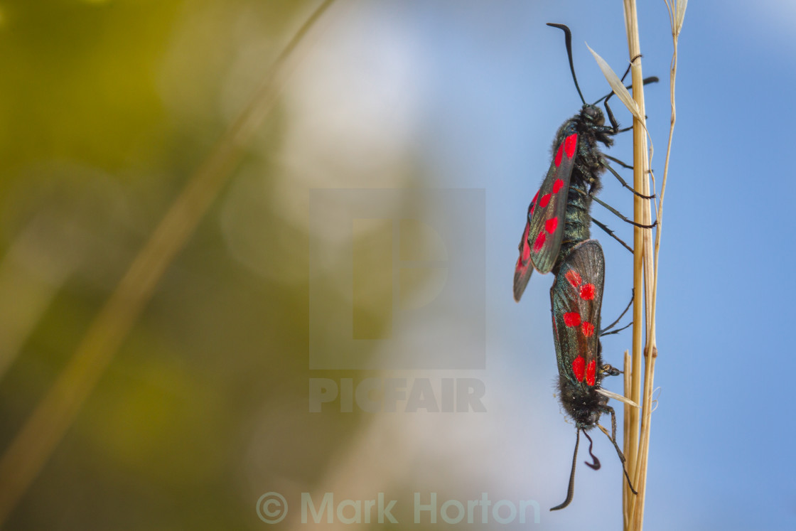 """Six-spot Burnet moths in copula"" stock image"