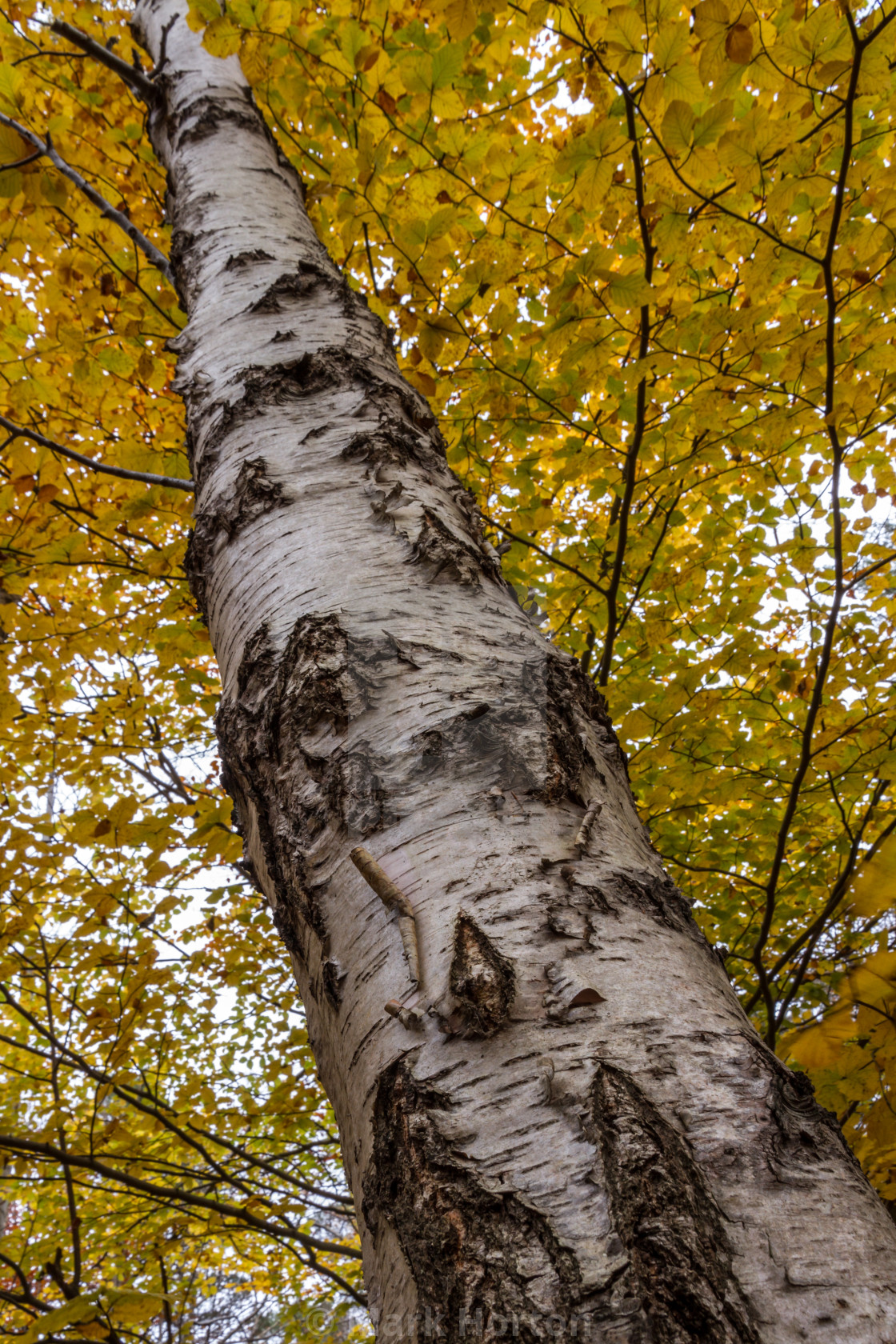 """Golden Birch"" stock image"