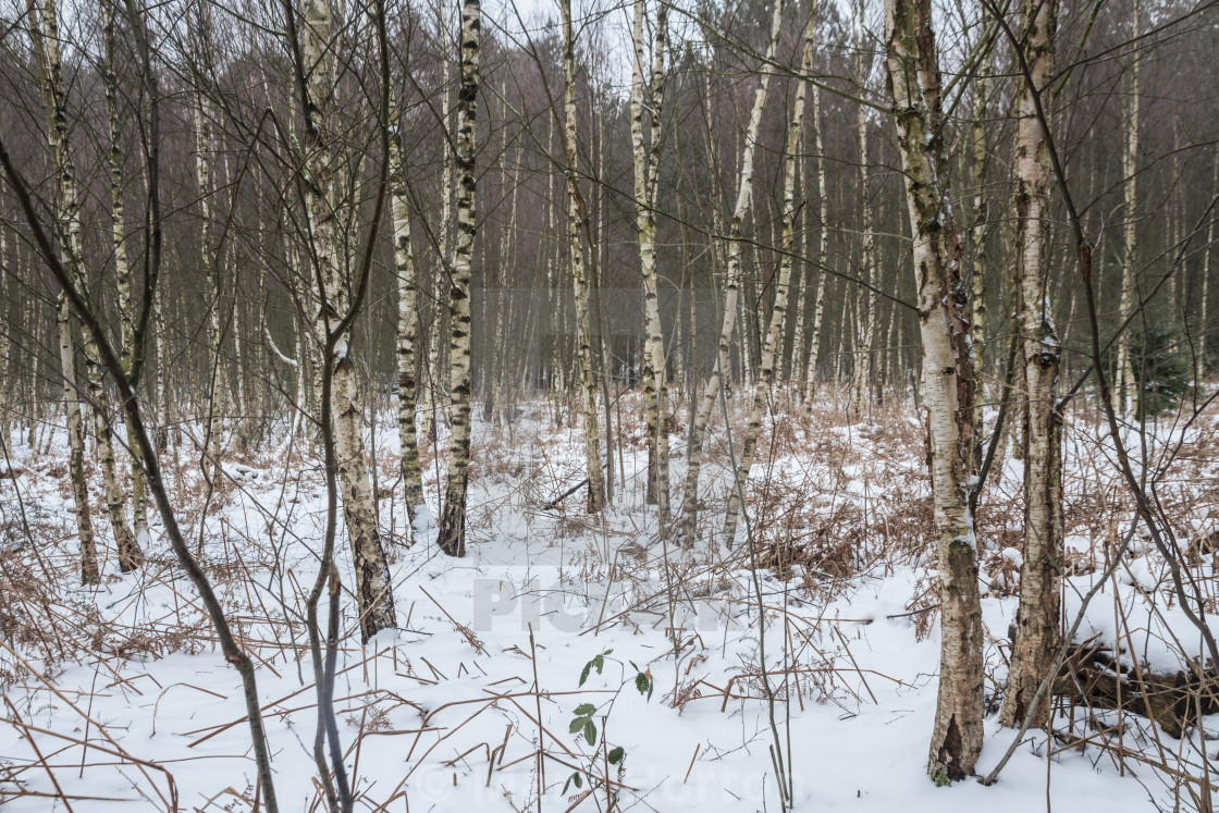 """silver birch 3"" stock image"