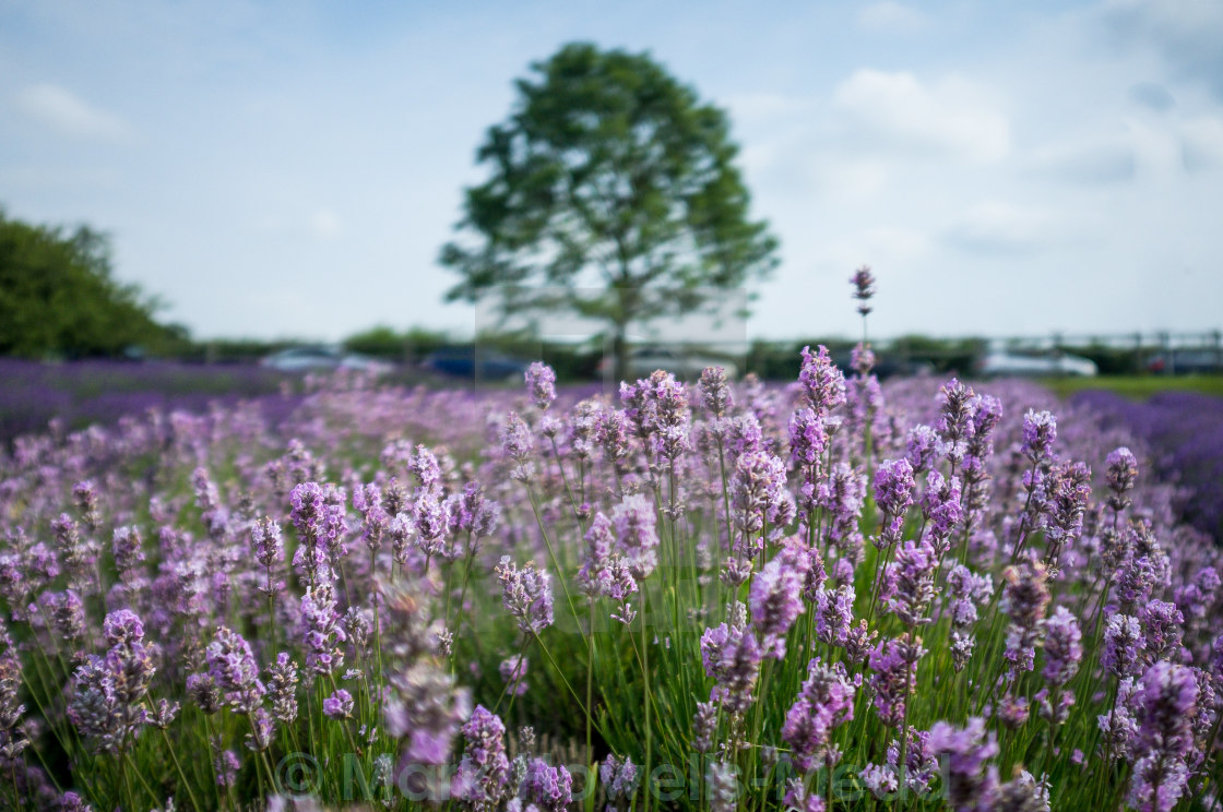 """Norfolk Lavender"" stock image"