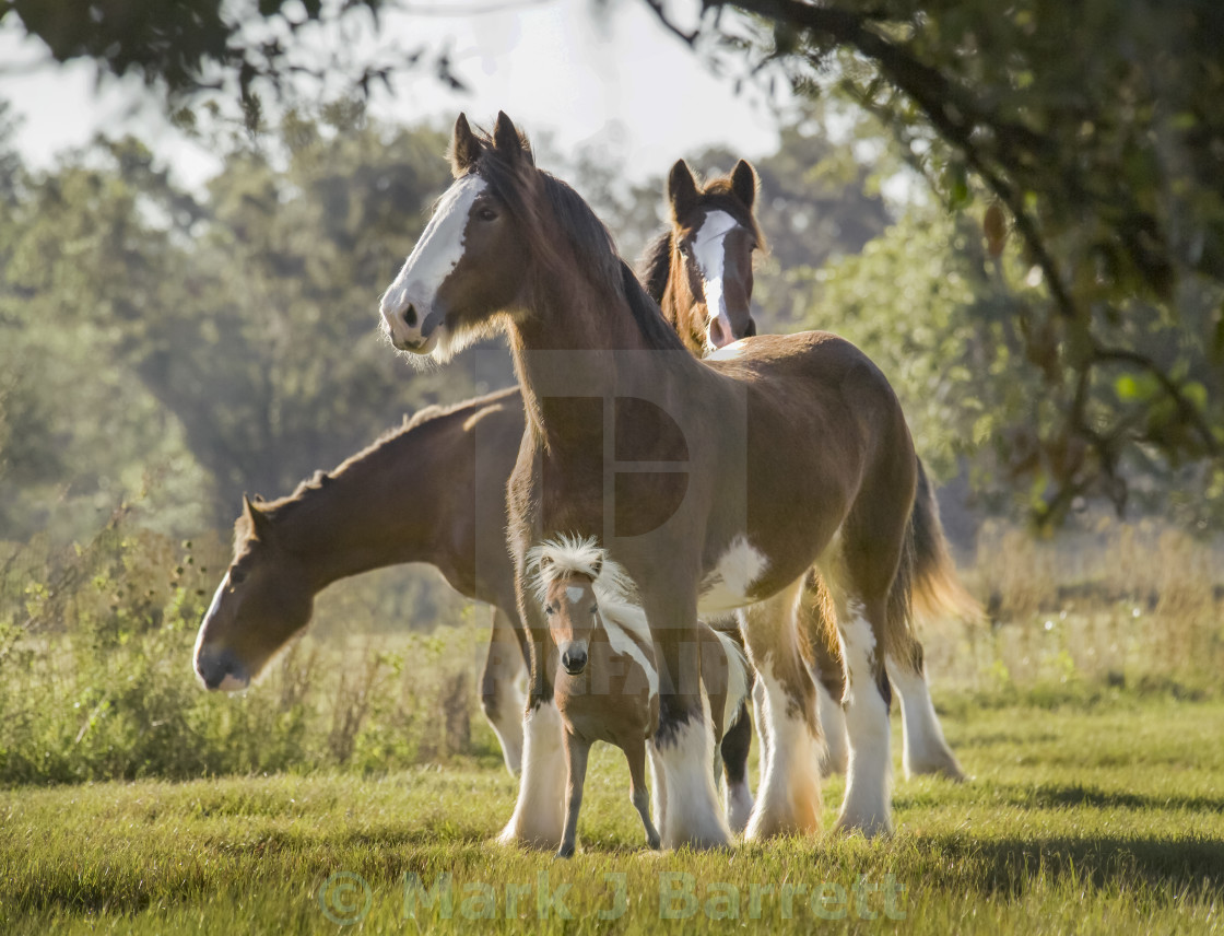"""""""Miniature Clydesdale1212F2"""" stock image"""