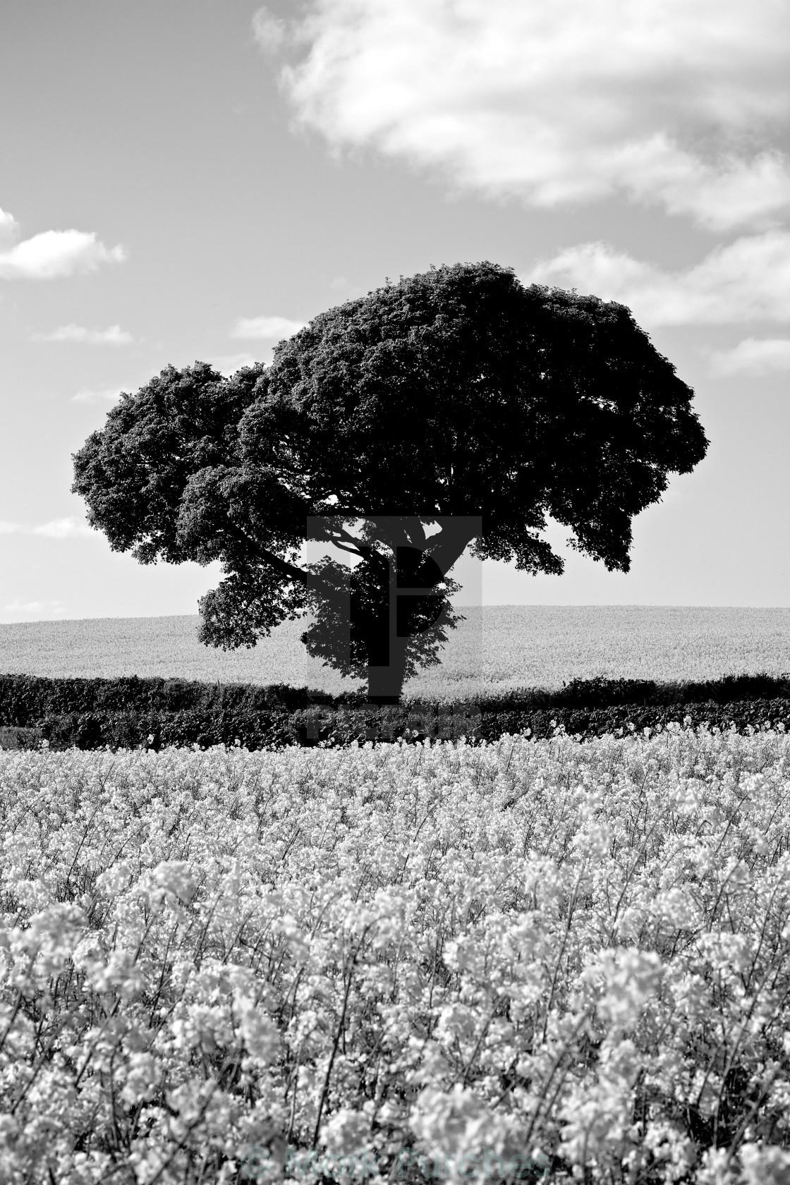 """Black White Tree in Rapeseed Fields"" stock image"