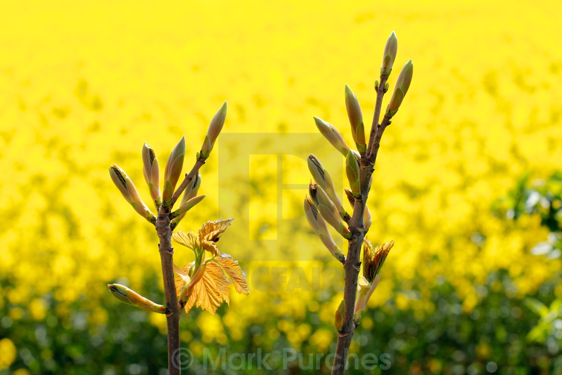 """Tree Flower Buds Yellow Rapeseed"" stock image"