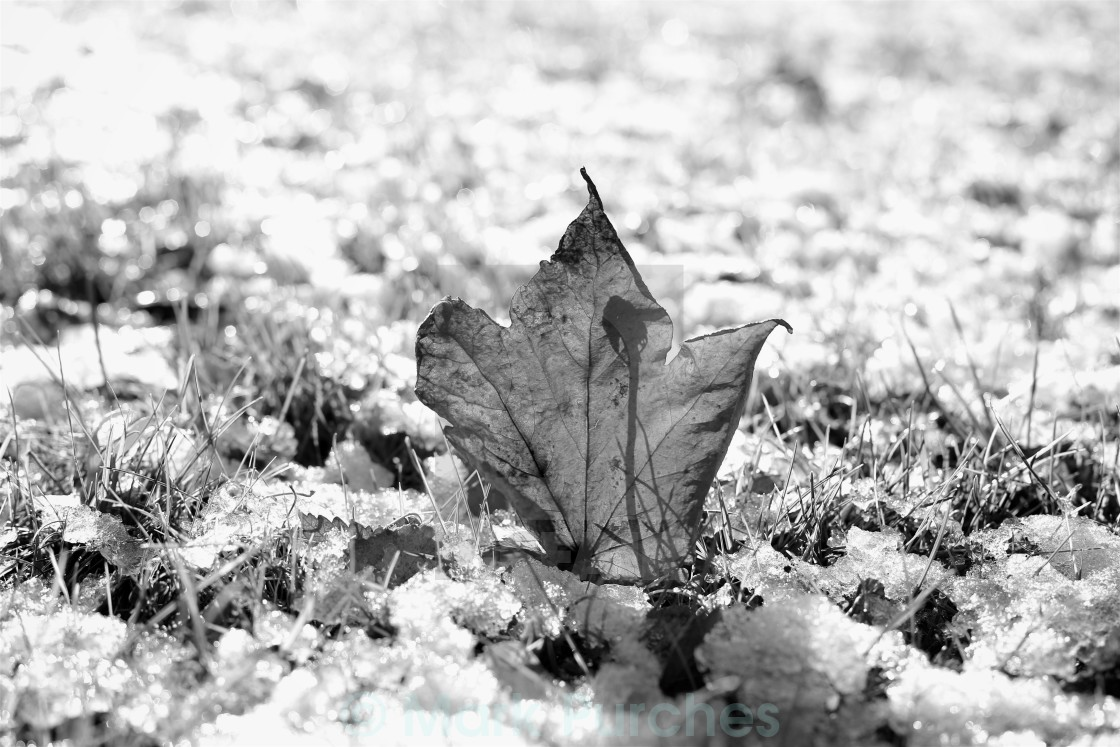 """Last Autumn Leaf Standing in First Snow of Winter BW"" stock image"