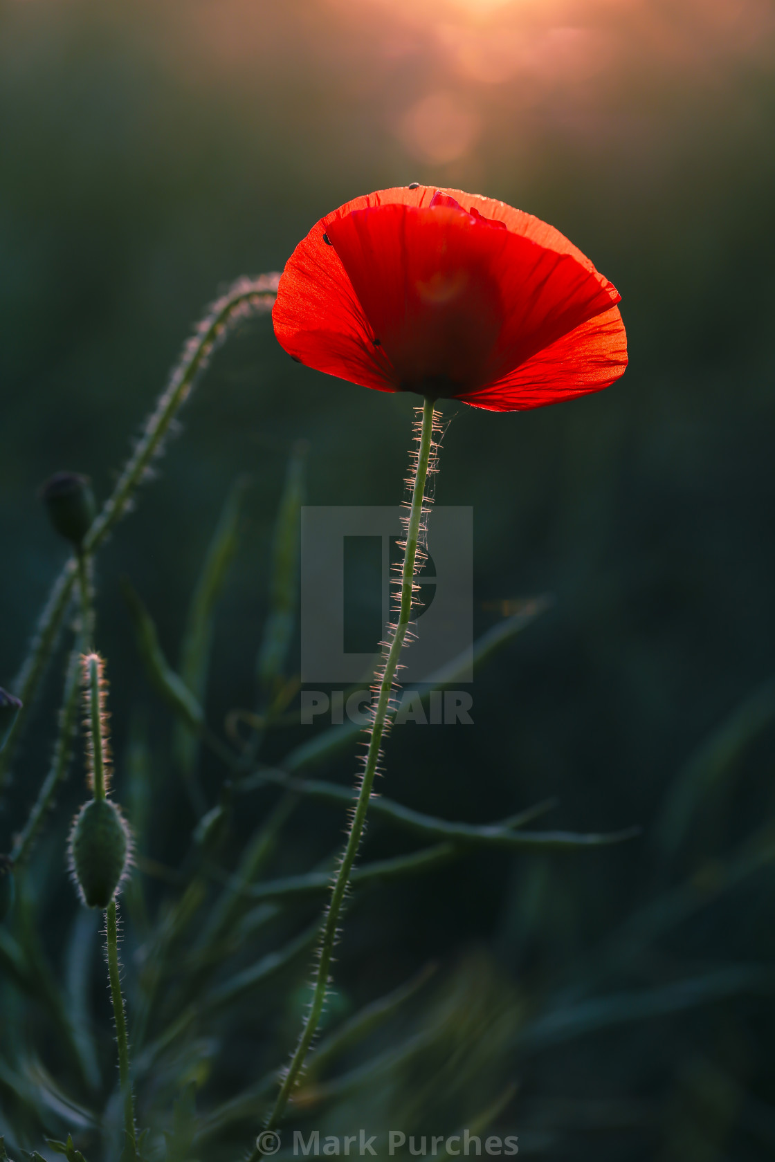 """One Poppy Glowing in Warm Evening Sun"" stock image"