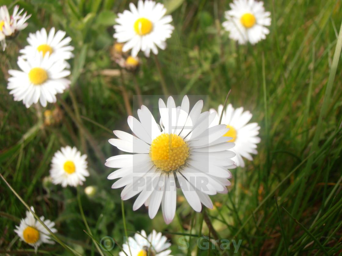 Wild daisy belis license for 620 on picfair wild daisy belis stock image izmirmasajfo