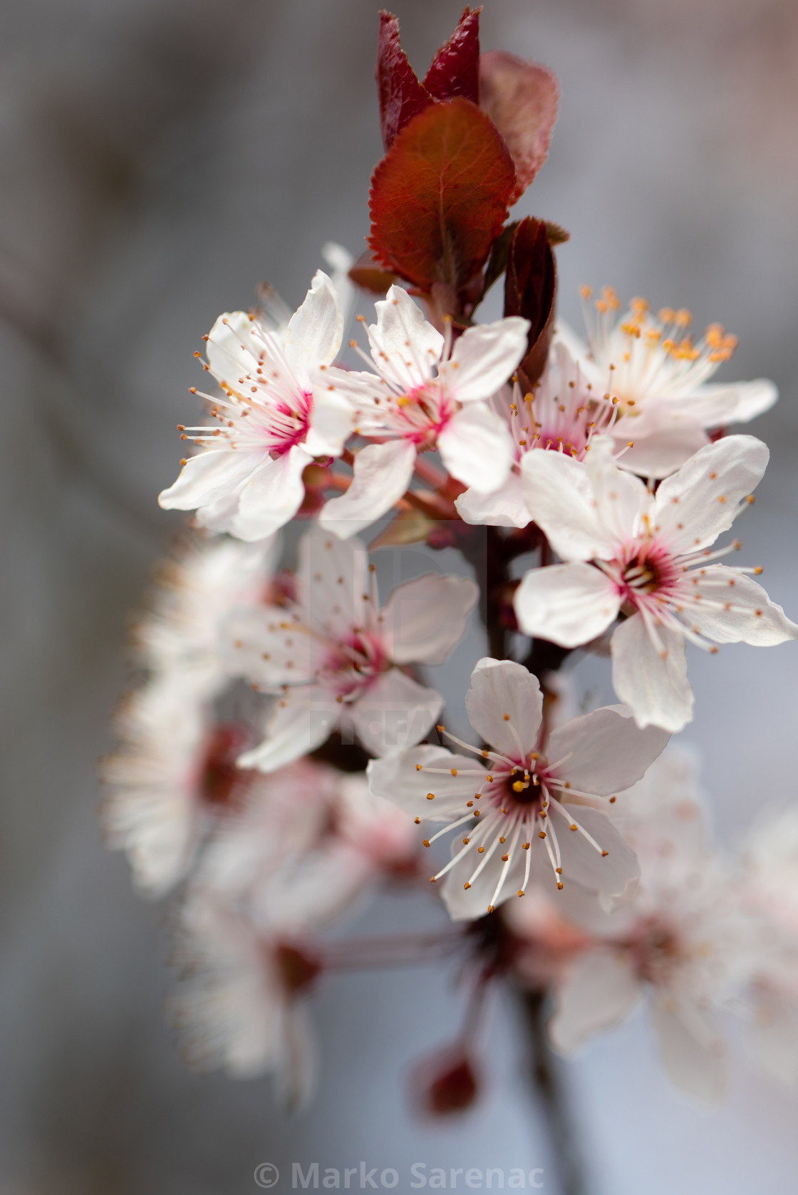 Blossom  Bokeh  Flowers  Cherry  Tree  Spring - License, download or