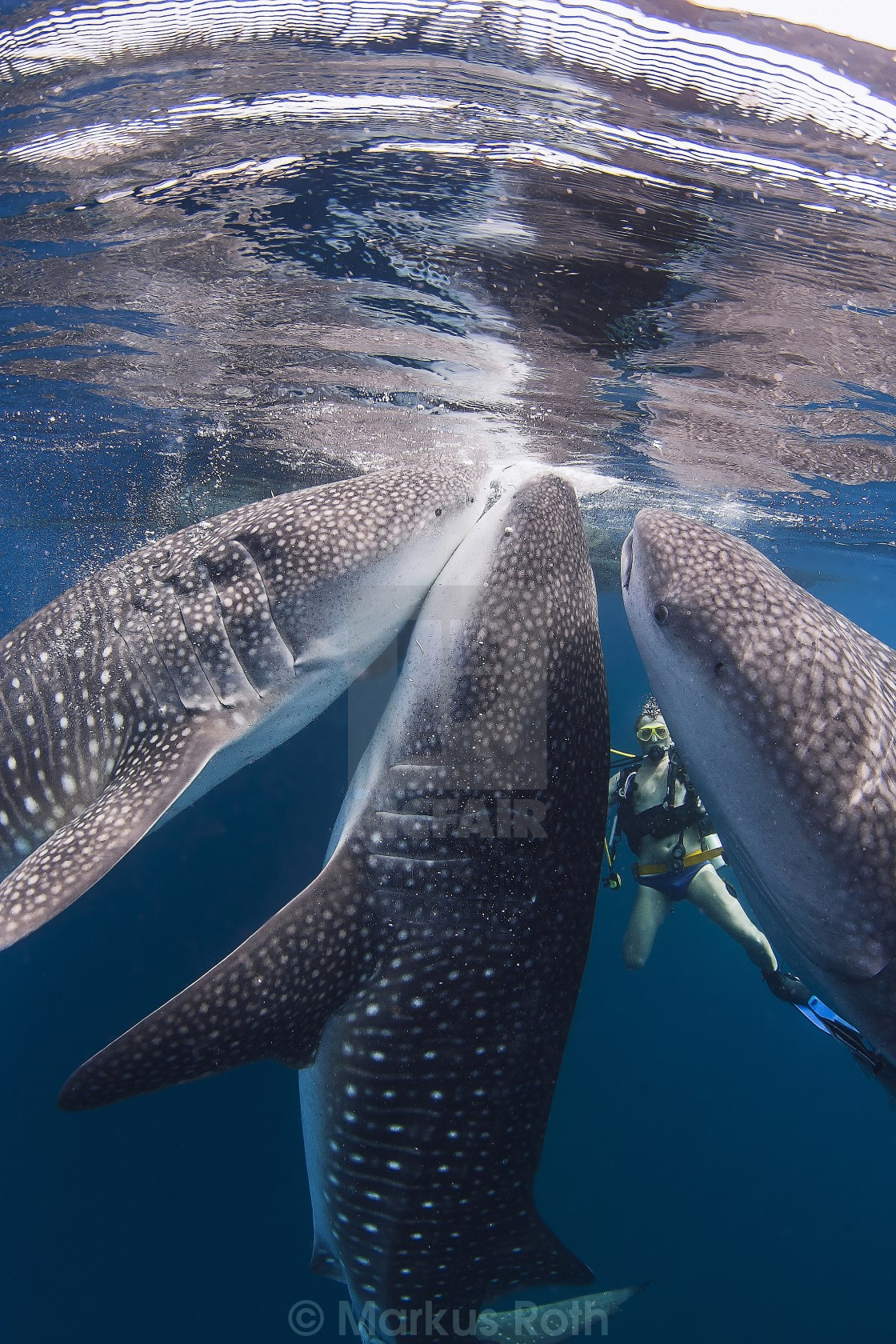 """Three whale sharks feeding right next to a diver"" stock image"