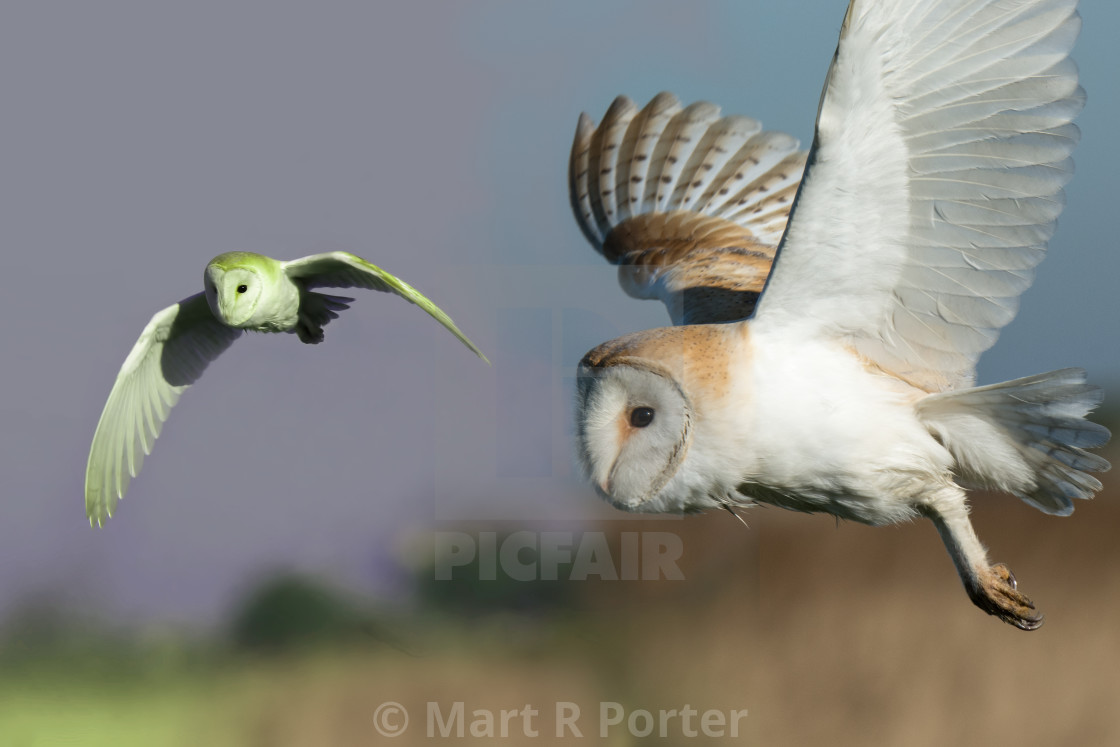 Barn Owl In Flight License Download Or Print For 8 68
