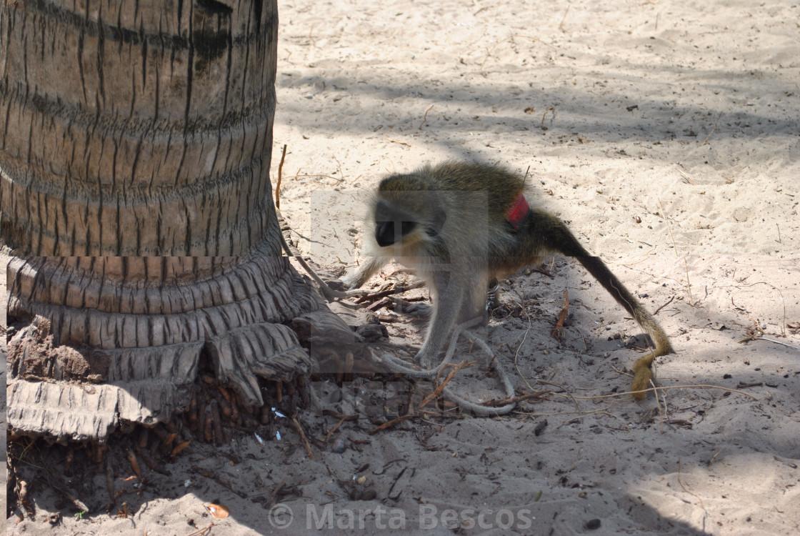 """""""Monkey, Carabane (Karabane) , in southern Senegal"""" stock image"""