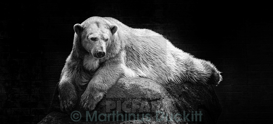 """The last Polar bear in Africa"" stock image"