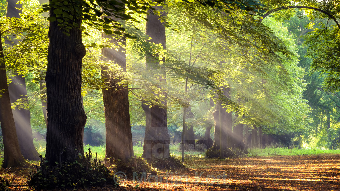 """sun rays in the forest"" stock image"