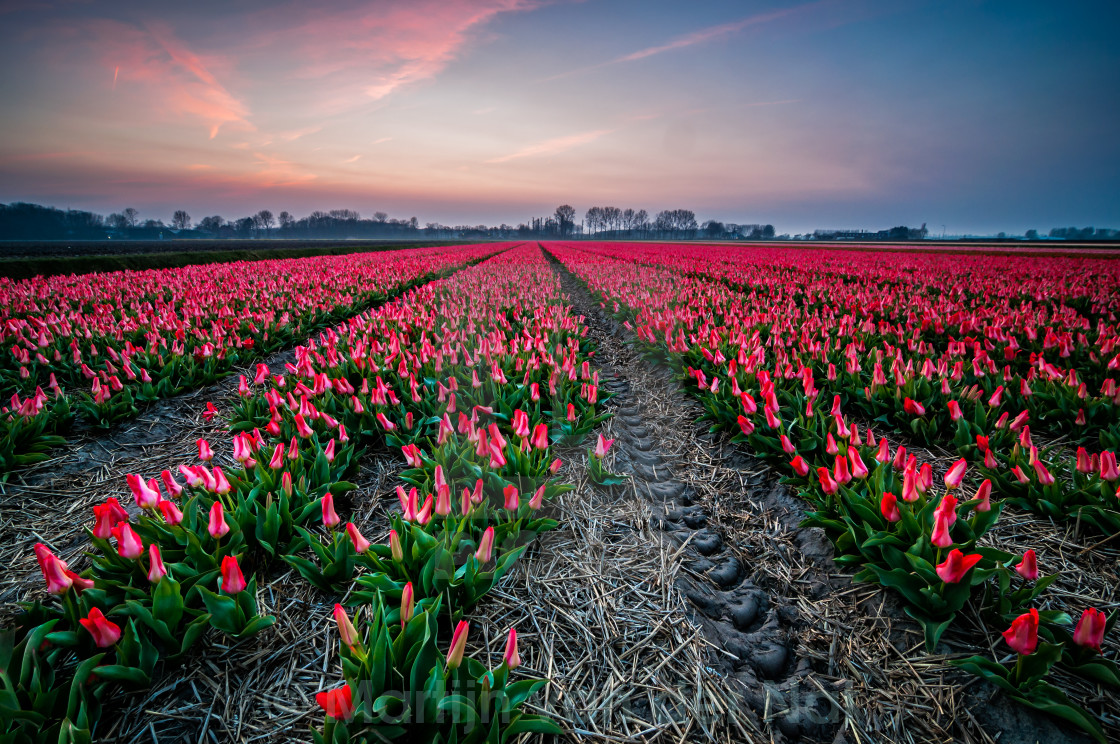 """""""The Delicate Sound of Tulips"""" stock image"""