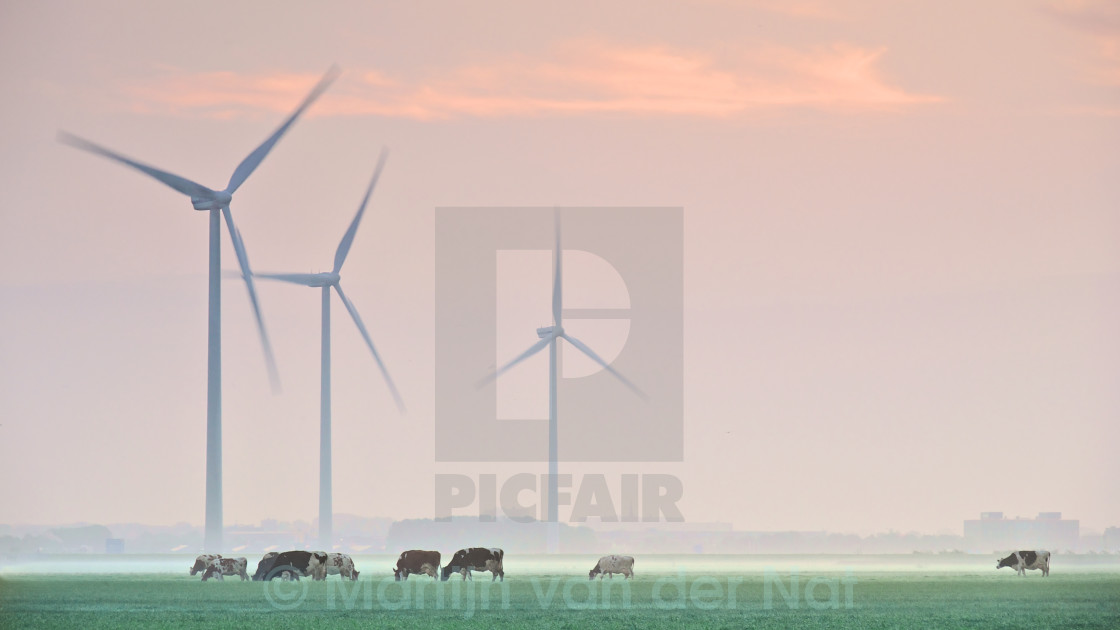 """Grazing cows in a misty meadow"" stock image"