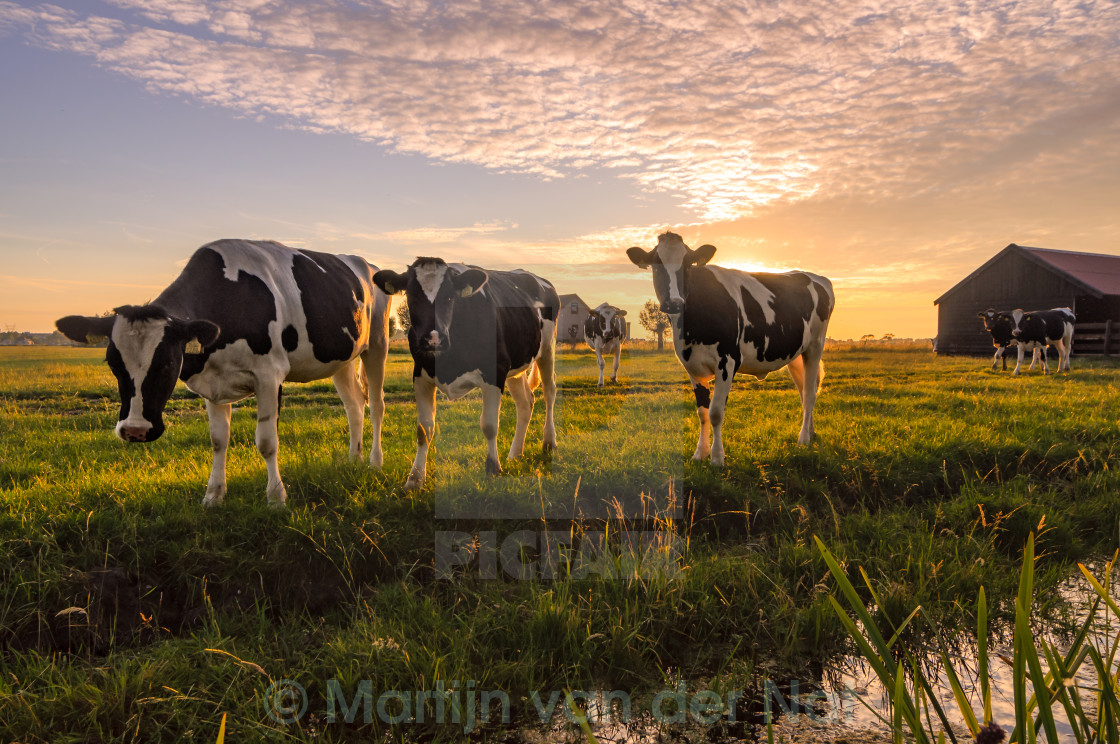 """Cows in the summer evening"" stock image"