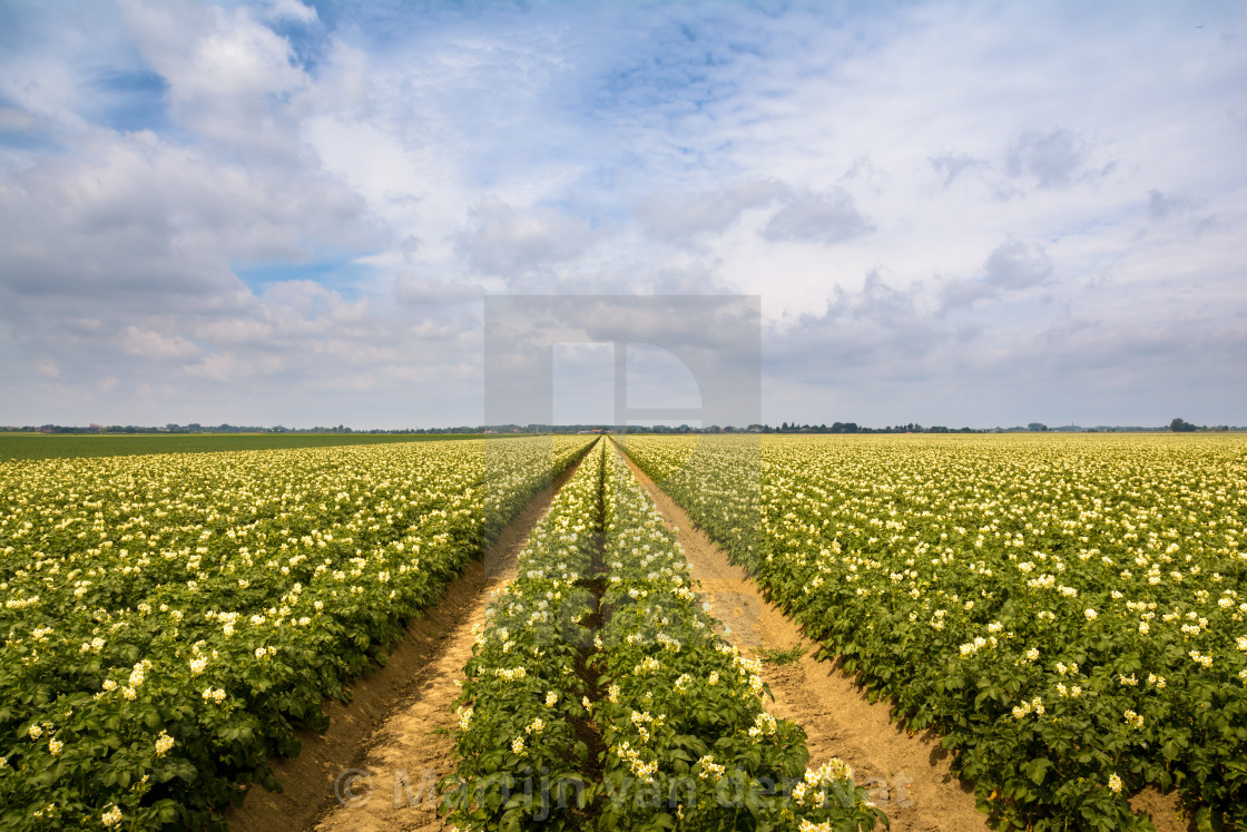 """Potatoe field"" stock image"