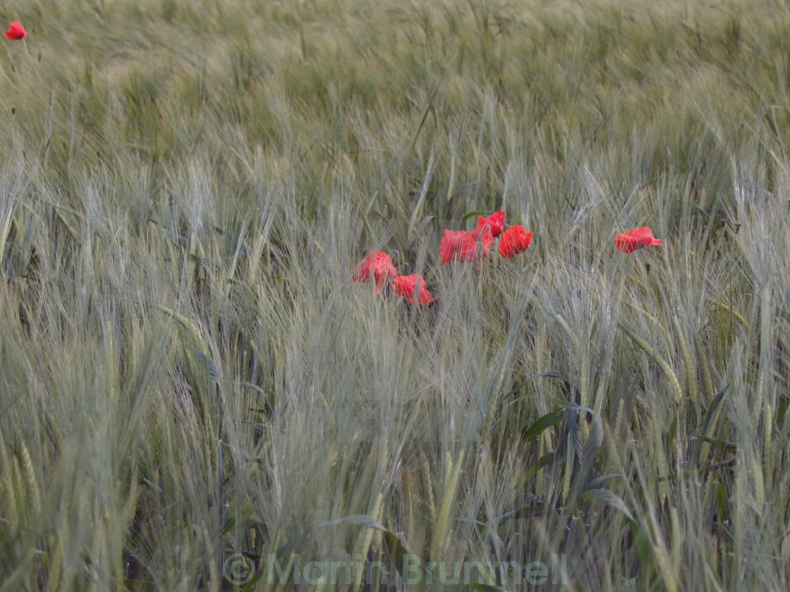 """""""Poppies in a barley field"""" stock image"""