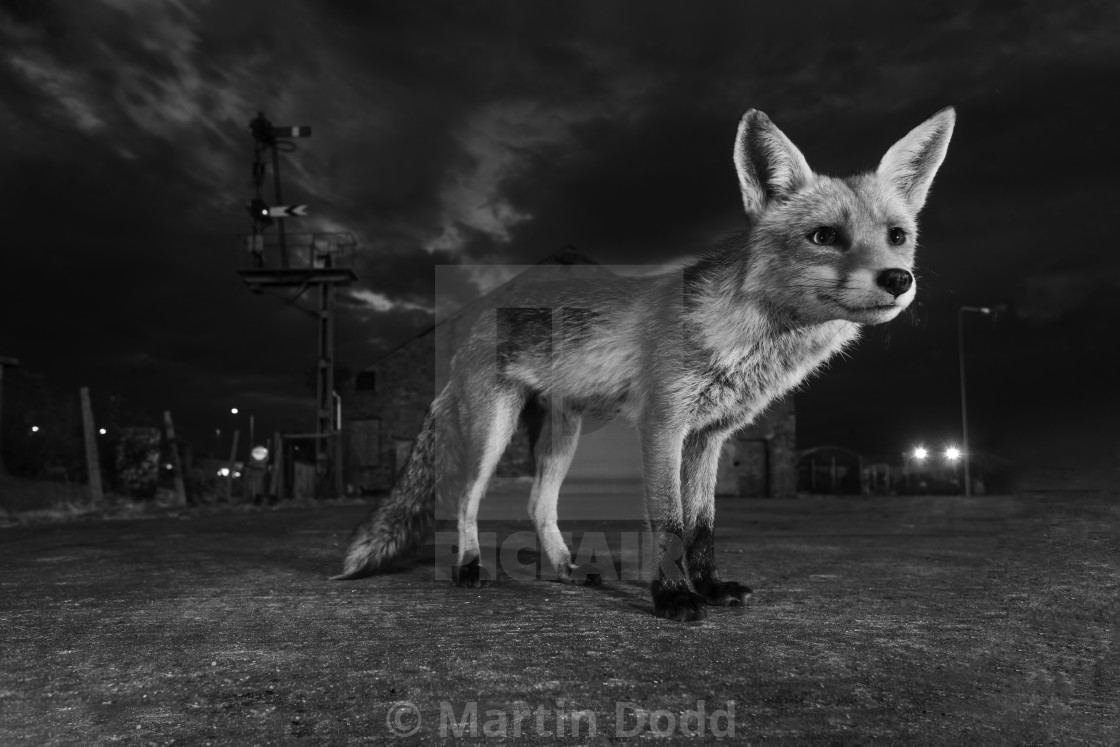 """Urban Fox in wide angle"" stock image"