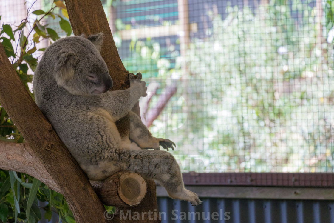 """Koala bear"" stock image"