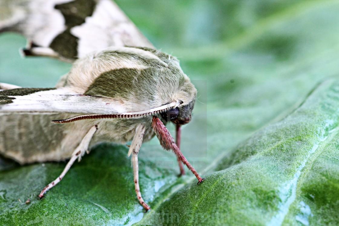 """Lime Hawk Moth"" stock image"
