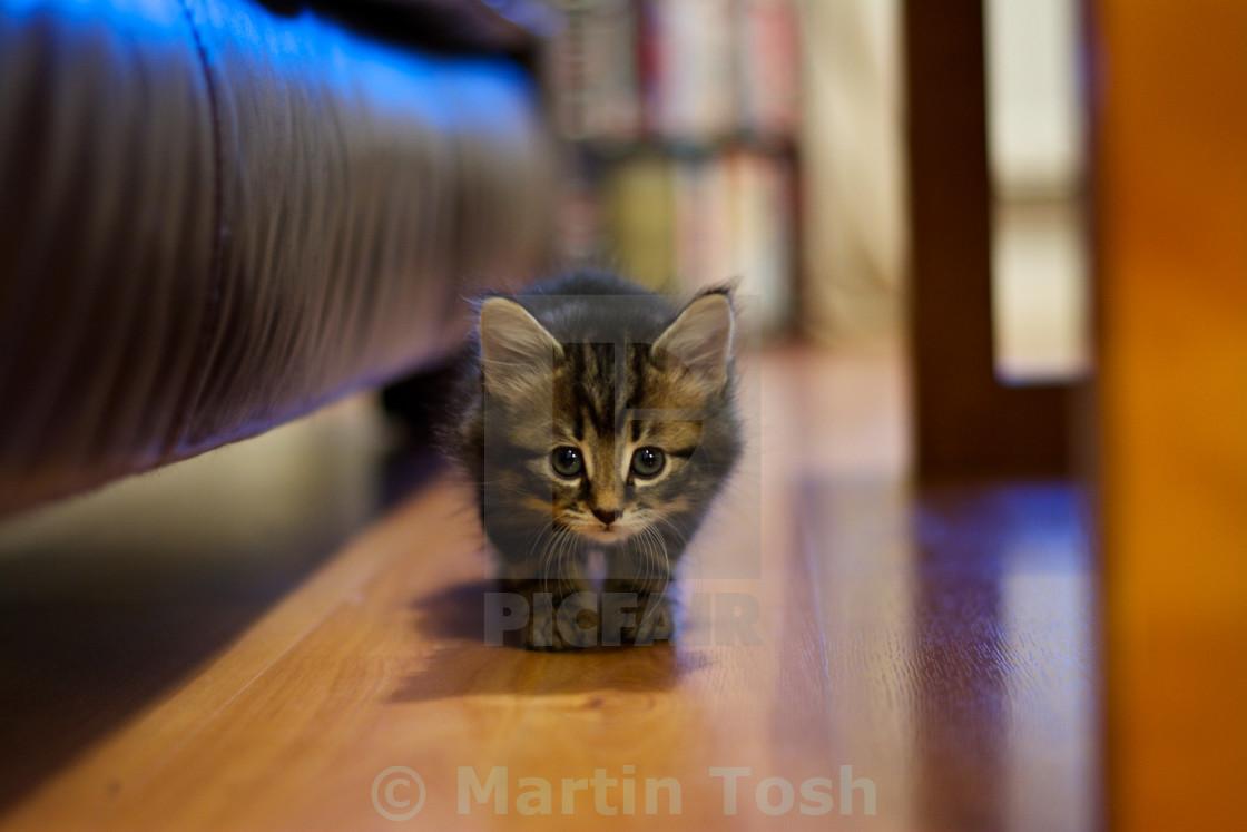 """Curiosity. Kitten exploring in the living room"" stock image"