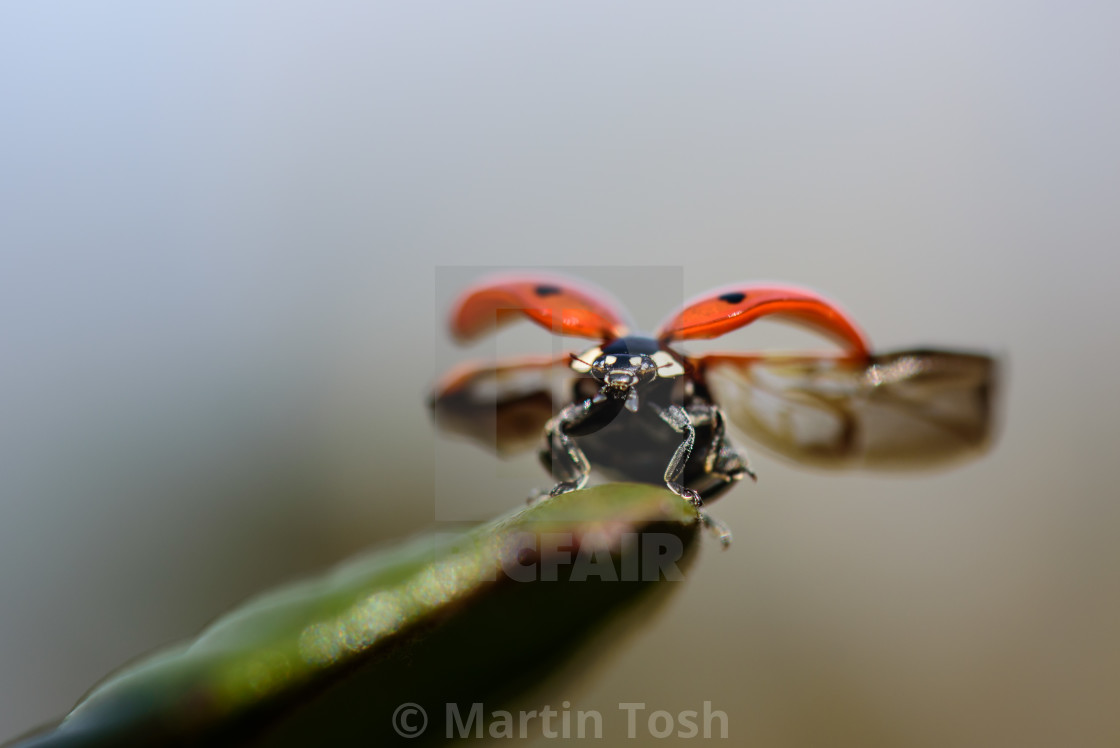 """Liftoff. Ladybird about to take flight"" stock image"