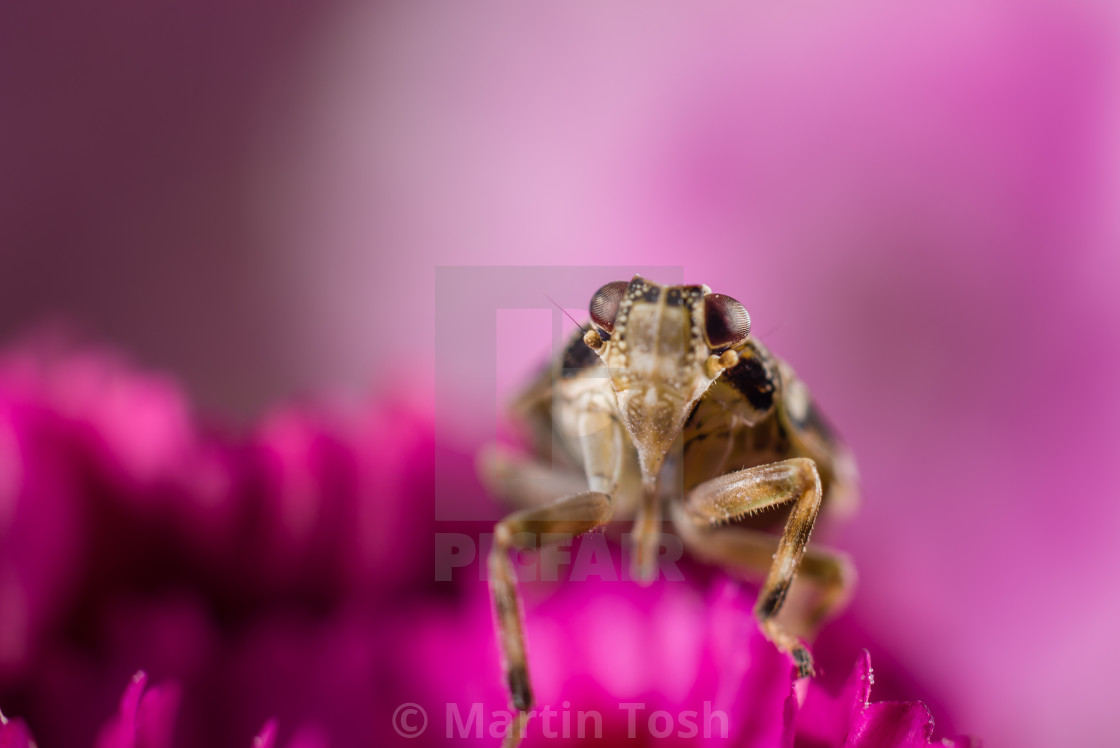 """Bug on pink flowers i. Macro"" stock image"