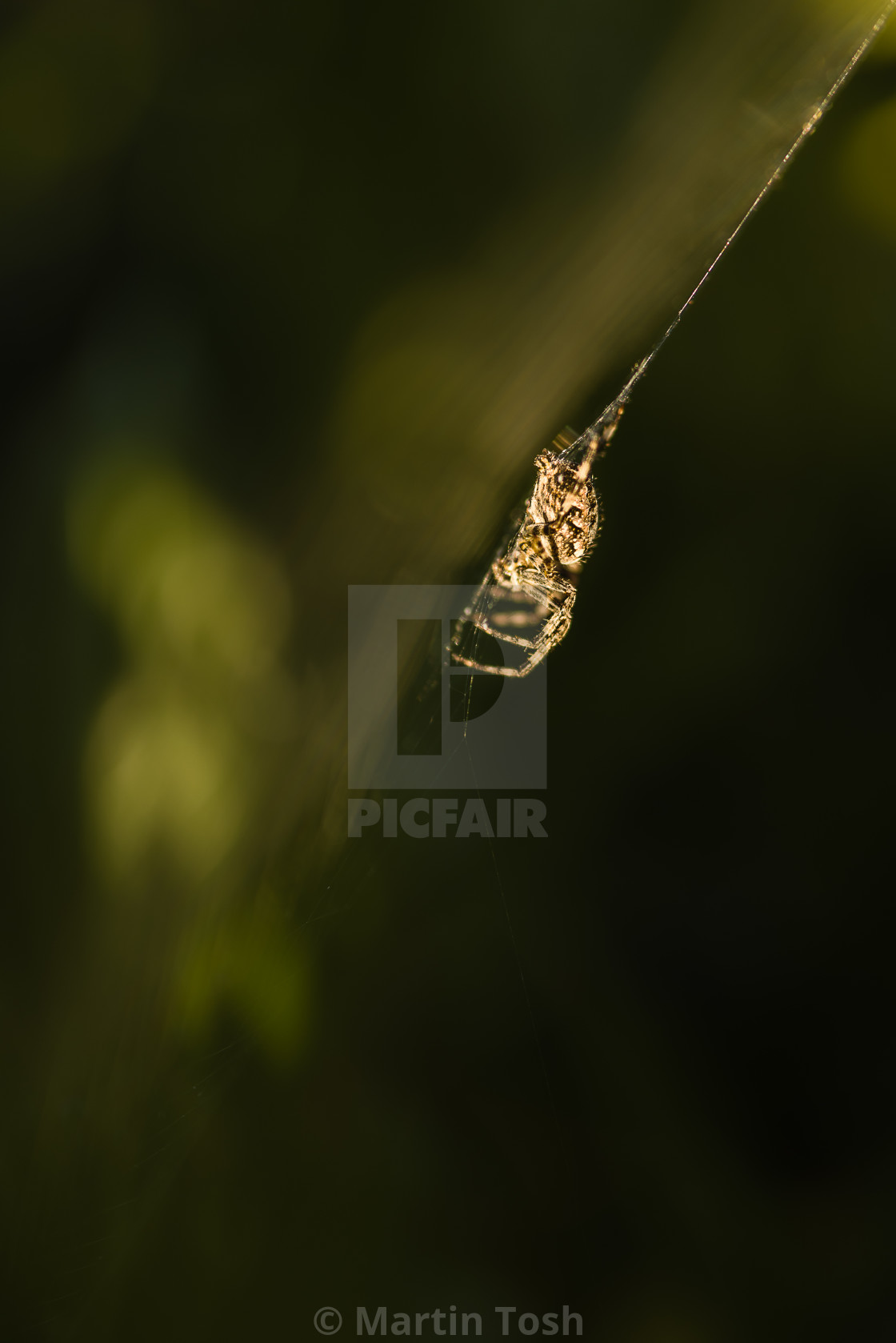 """Atomic spider. Sunlight catching a spider on it's web"" stock image"