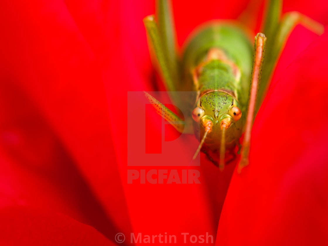"""Stop, go. Green cricket in soft red flower"" stock image"