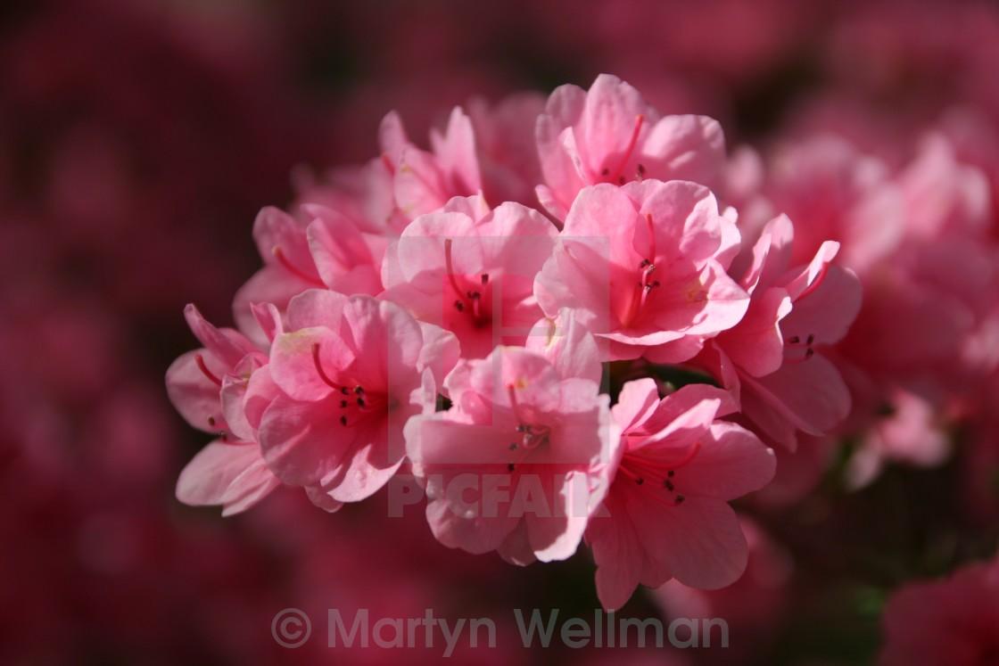 """Pink azaleas"" stock image"