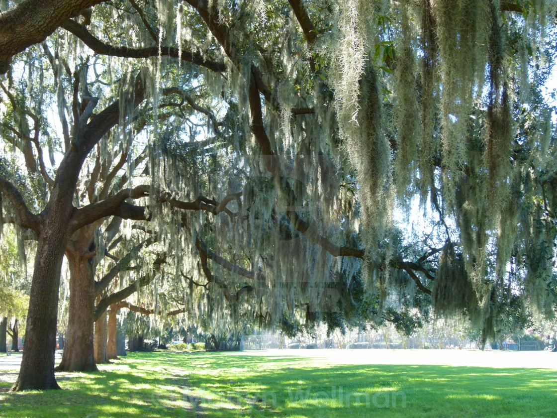 """Spanish moss, Savannah"" stock image"