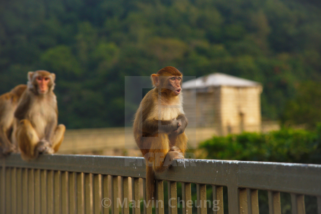 """Monkey Mountain - War Cry"" stock image"