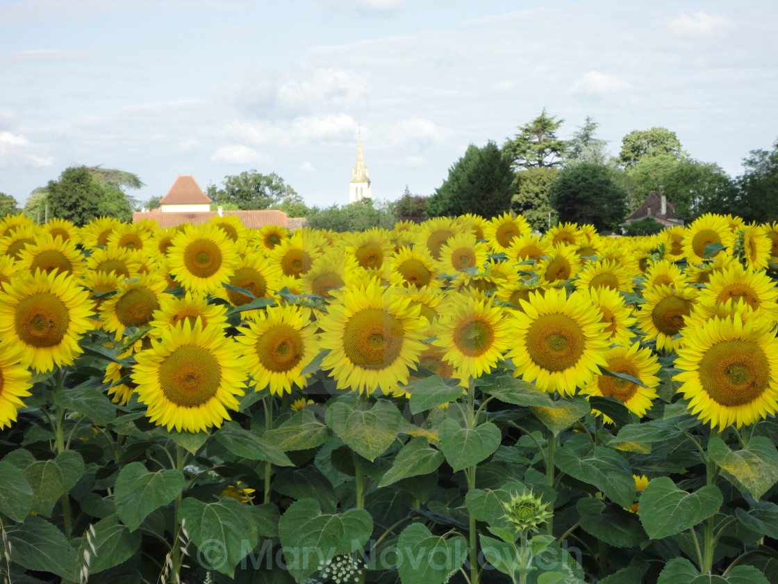 """""""French sunflowers"""" stock image"""