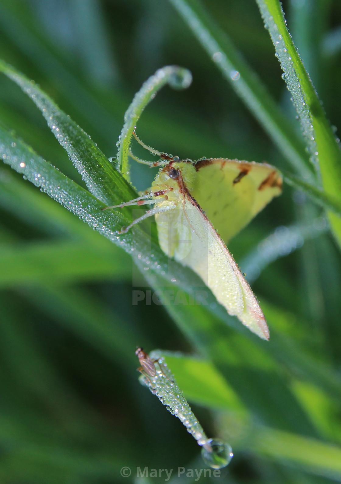 """Dewy Brimstone Moth"" stock image"