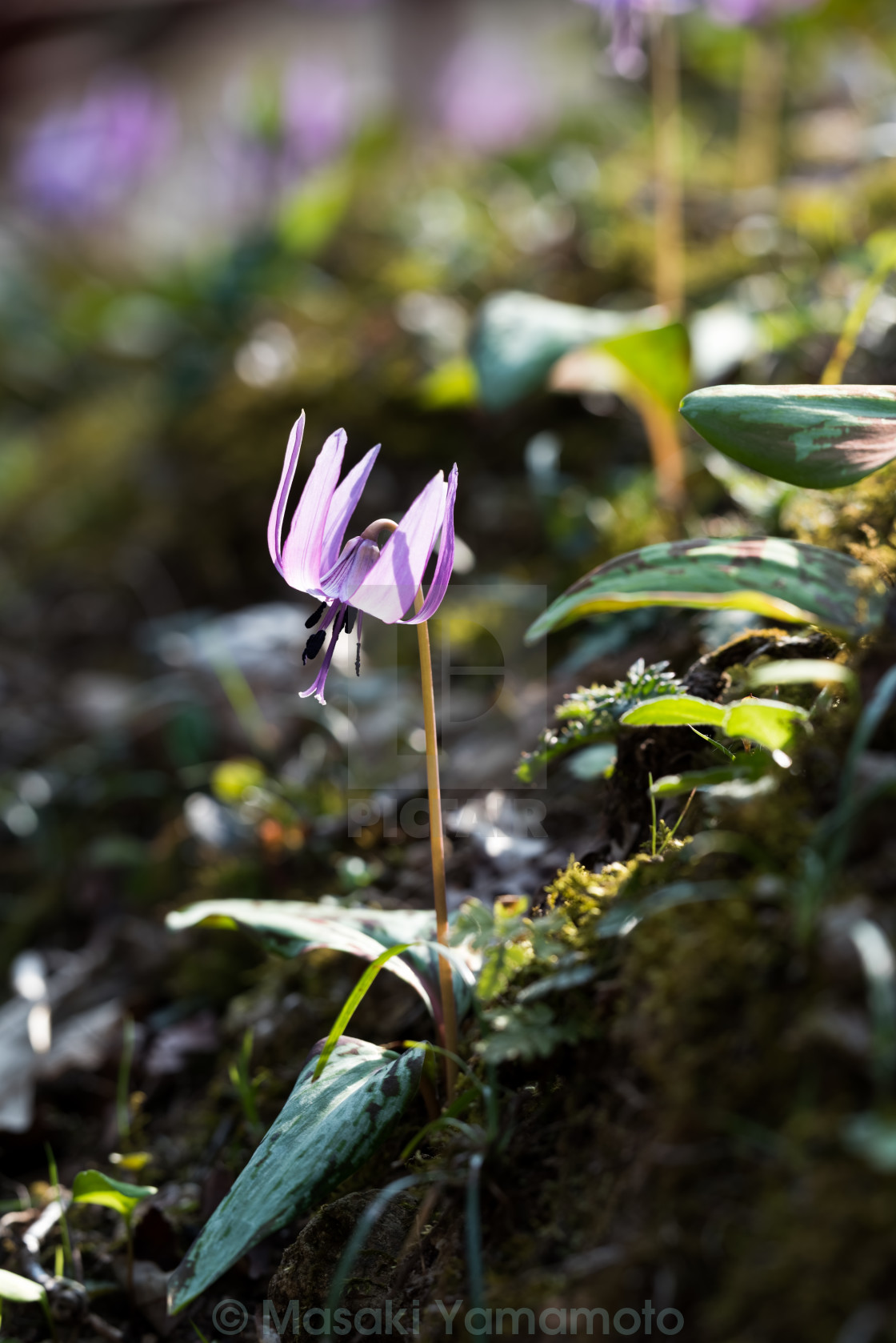 """""""Dogtooth violet"""" stock image"""