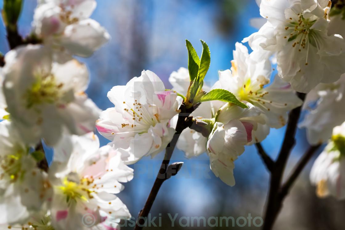 """Flowering peach trees"" stock image"