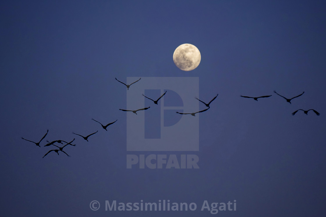 A Flock Of Birds Fly At Night Towards The Moon License Download