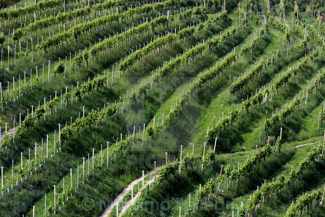 """Rows of vines of Prosecco, Italy"" stock image"