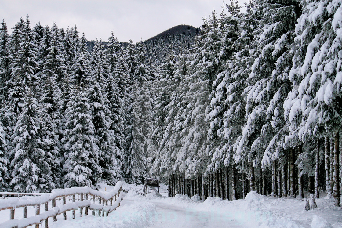 """Foreshortening of a snow-covered forest"" stock image"
