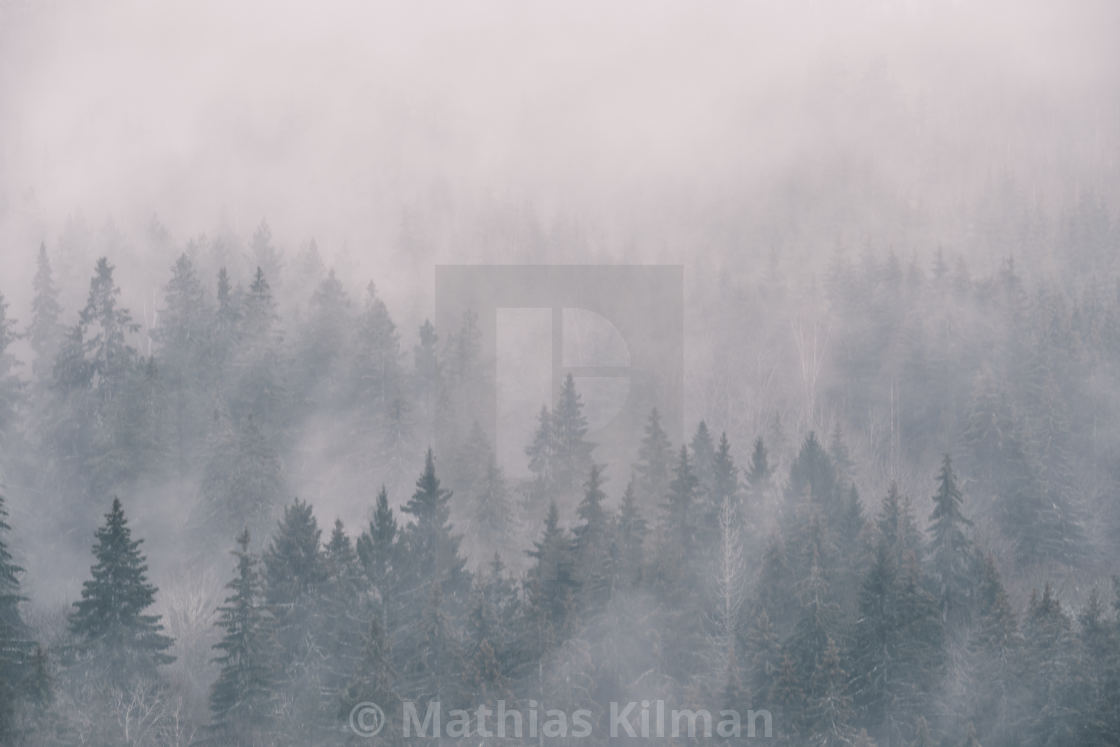 """""""dense fog in the spruce photographed from height"""" stock image"""