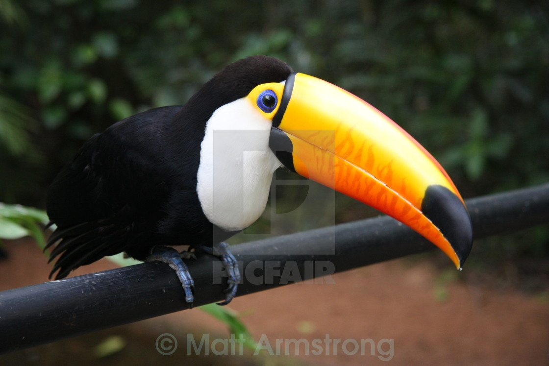 """Tropical Toucan"" stock image"