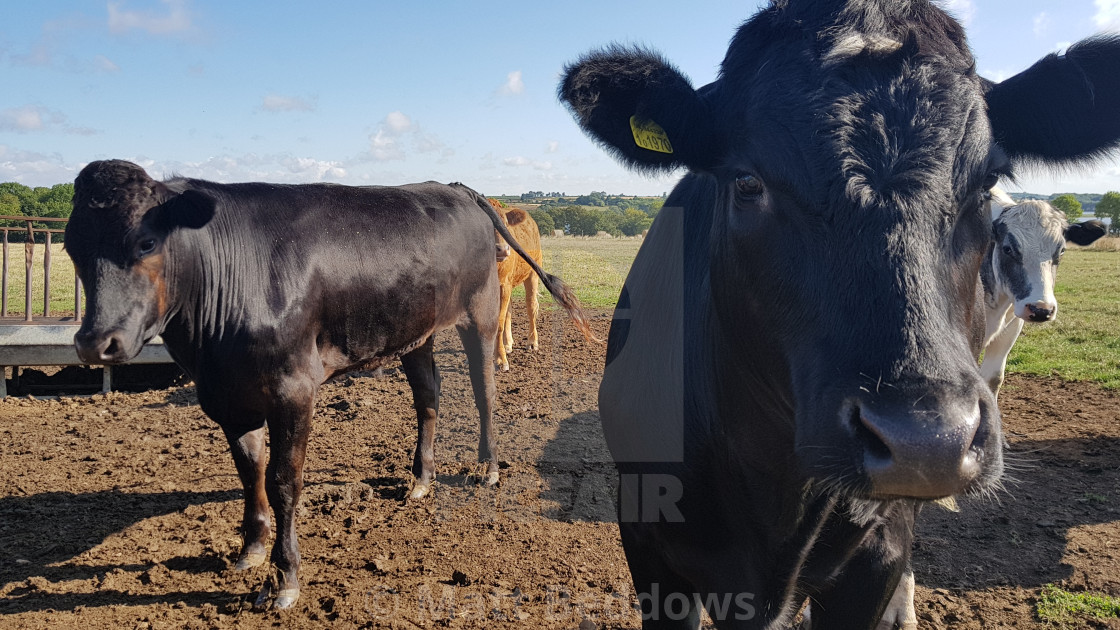 """Cows"" stock image"