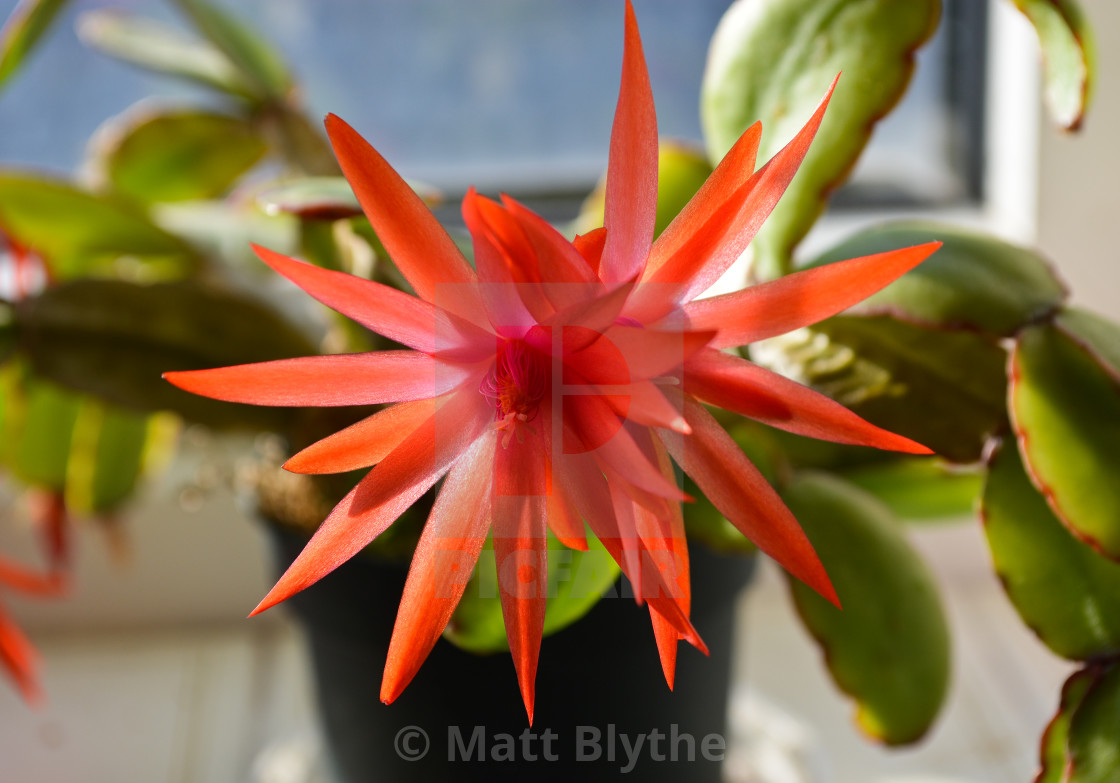 """""""Bright Red Christmas Cactus Flower"""" stock image"""