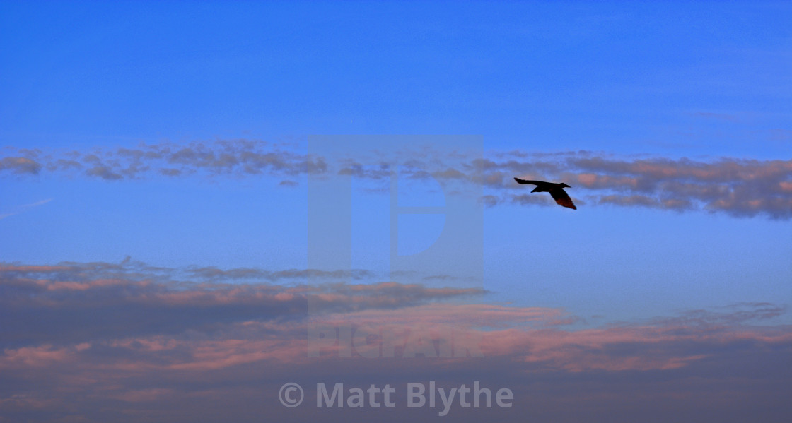 """""""Seagull in Flight and Pink Clouds"""" stock image"""