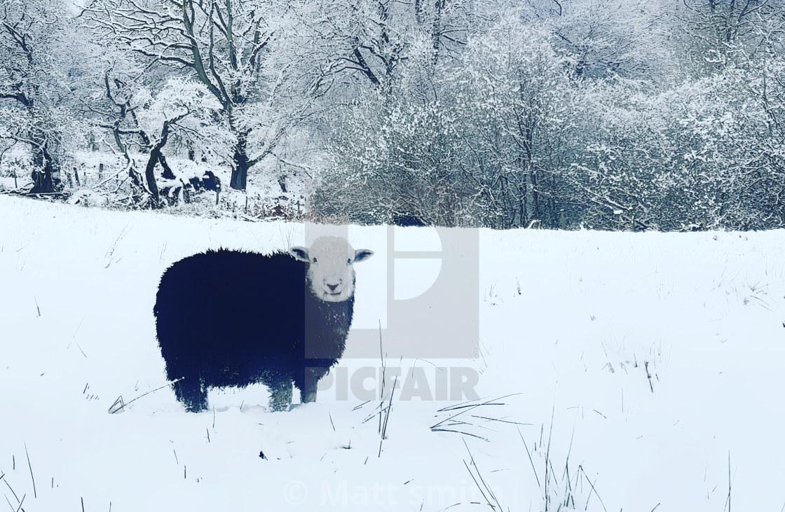 """Black sheep"" stock image"