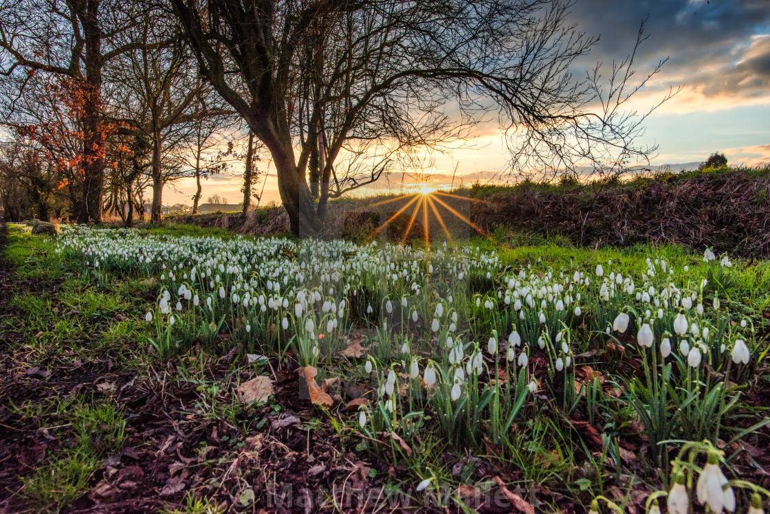 """Early Spring Snowdrops In Kirby Le Soken"" stock image"