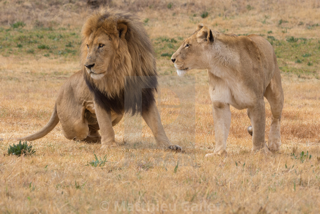 male and female lion - License, download or print for £4 96