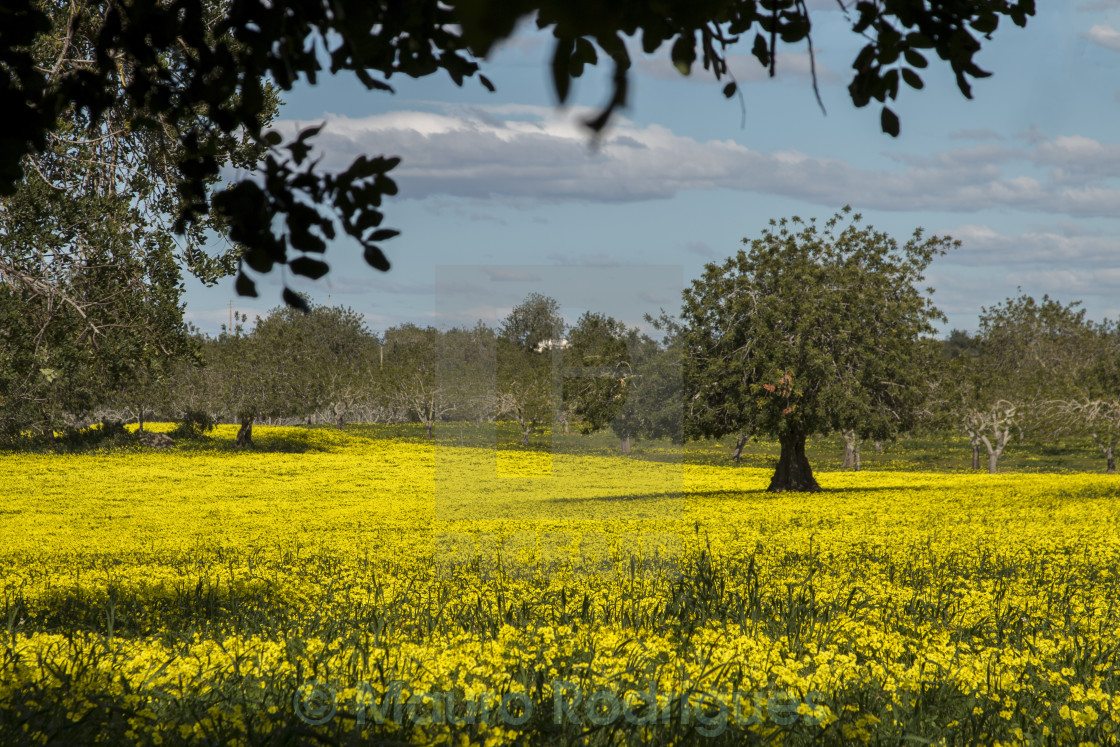Almond Orchard In A Field Of Yellow Flowers License For 1240 On